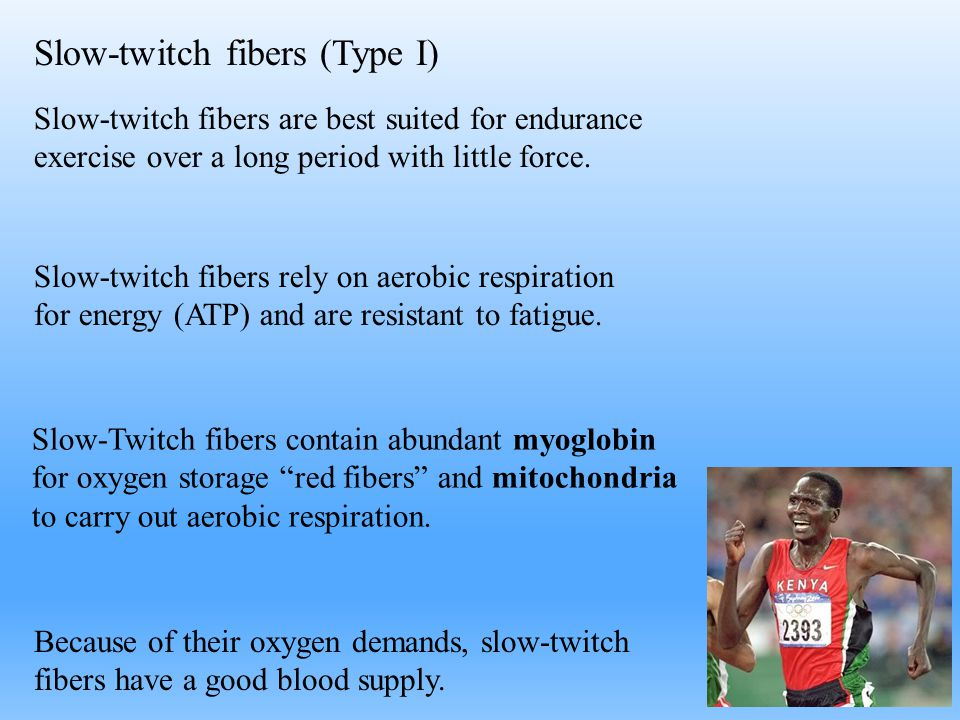 Slow-twitch fibers (Type I) Slow-twitch fibers rely on aerobic respiration for energy (ATP) and are resistant to fatigue. Slow-Twitch fibers contain a