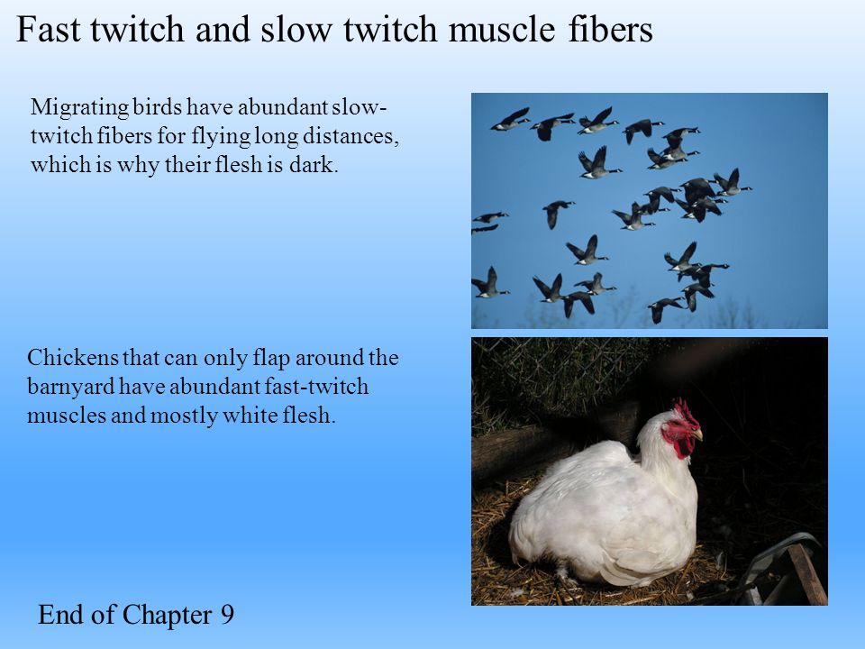 Migrating birds have abundant slow- twitch fibers for flying long distances, which is why their flesh is dark. Chickens that can only flap around the