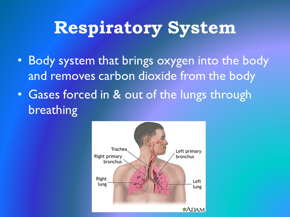 Respiratory System Body system that brings oxygen into the body and removes carbon dioxide from the body Gases forced in & out of the lungs through br