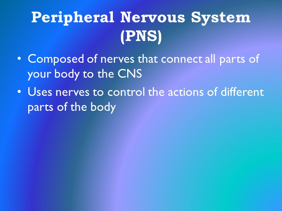Peripheral Nervous System (PNS) Composed of nerves that connect all parts of your body to the CNS Uses nerves to control the actions of different part