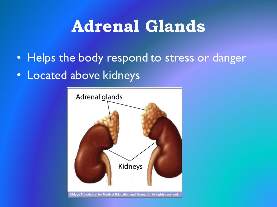 Adrenal Glands Helps the body respond to stress or danger Located above kidneys