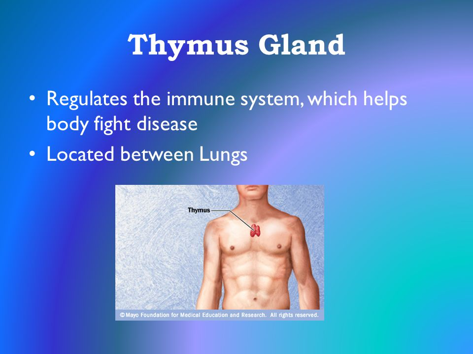 Thymus Gland Regulates the immune system, which helps body fight disease Located between Lungs