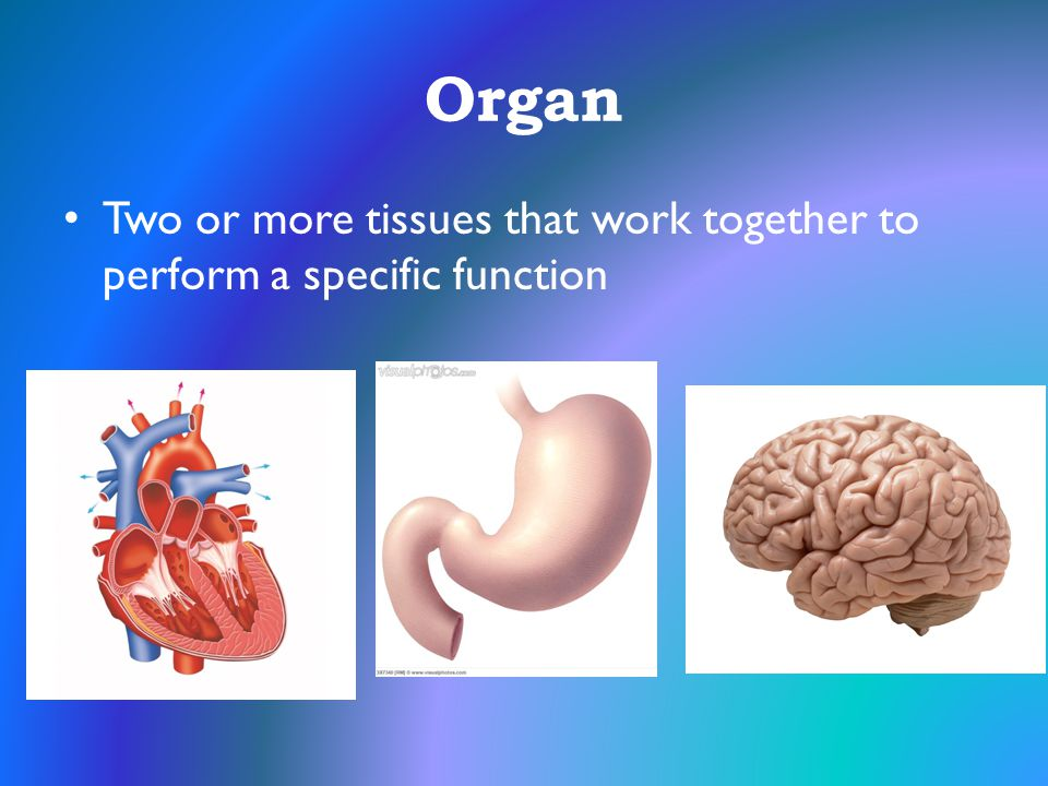 Organ Two or more tissues that work together to perform a specific function