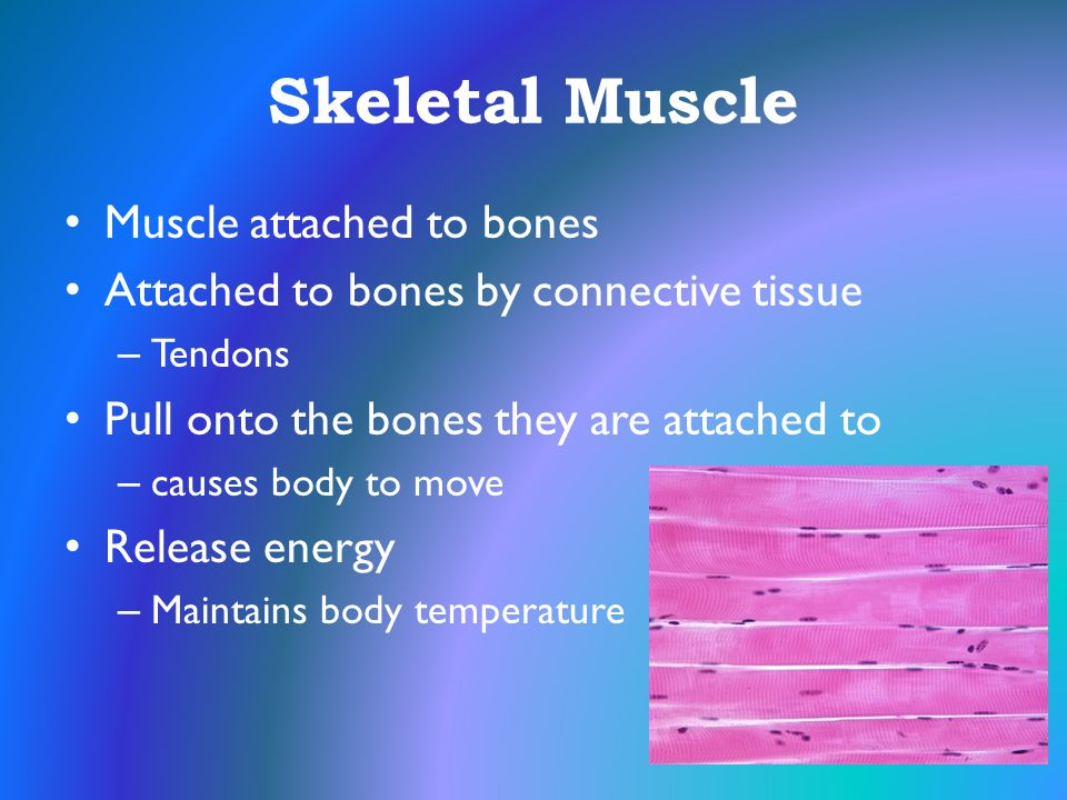 Skeletal Muscle Muscle attached to bones Attached to bones by connective tissue – Tendons Pull onto the bones they are attached to – causes body to mo