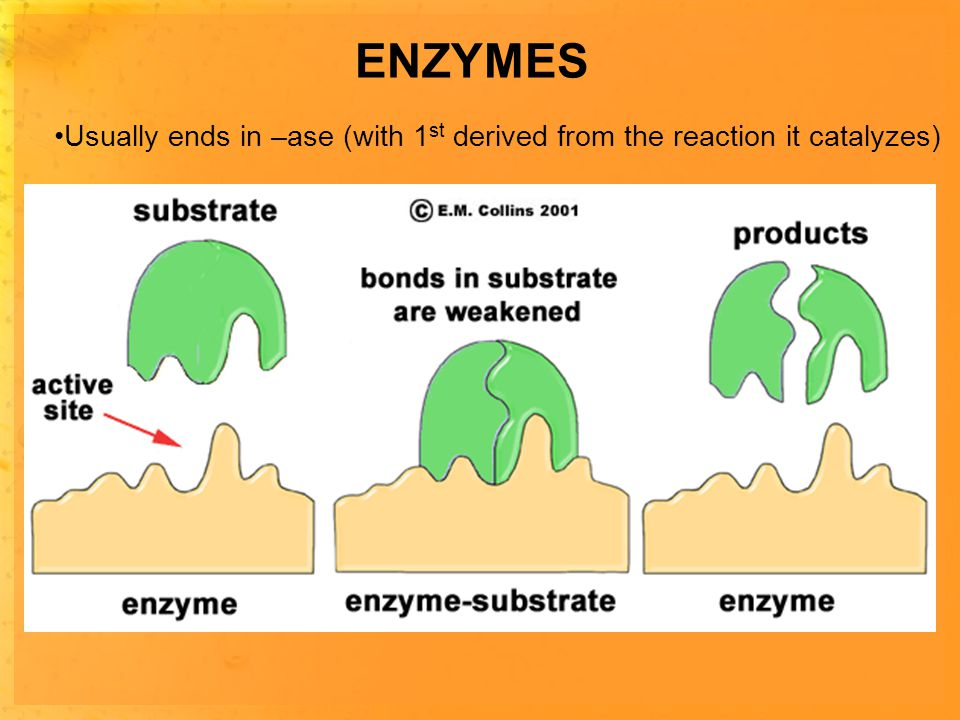 ENZYMES Usually ends in –ase (with 1 st derived from the reaction it catalyzes) Works as a 1 enzyme:1 reaction-VERY specific (shape ) Enzymes provide a site where reactants can be brought together Substrates - reactants in an enyzme-catalyzed reaction Active site- site of substrate binding on the enzyme -complementary in lock & key style