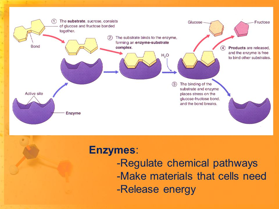 Enzymes: -Regulate chemical pathways -Make materials that cells need -Release energy
