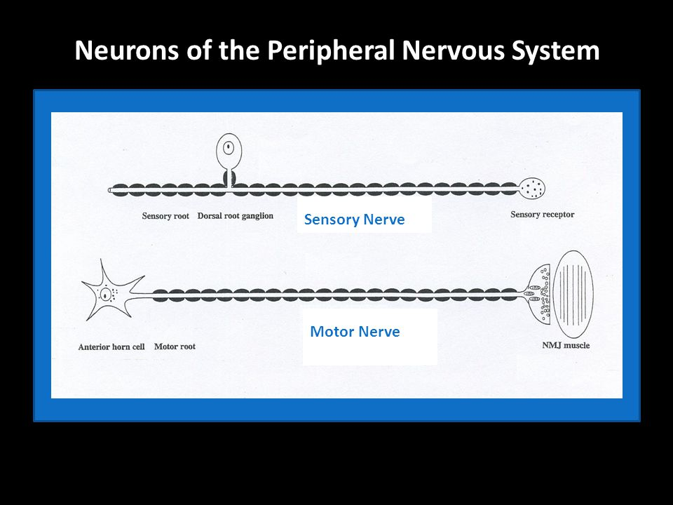 Neurons of the Peripheral Nervous System Sensory Nerve Motor Nerve