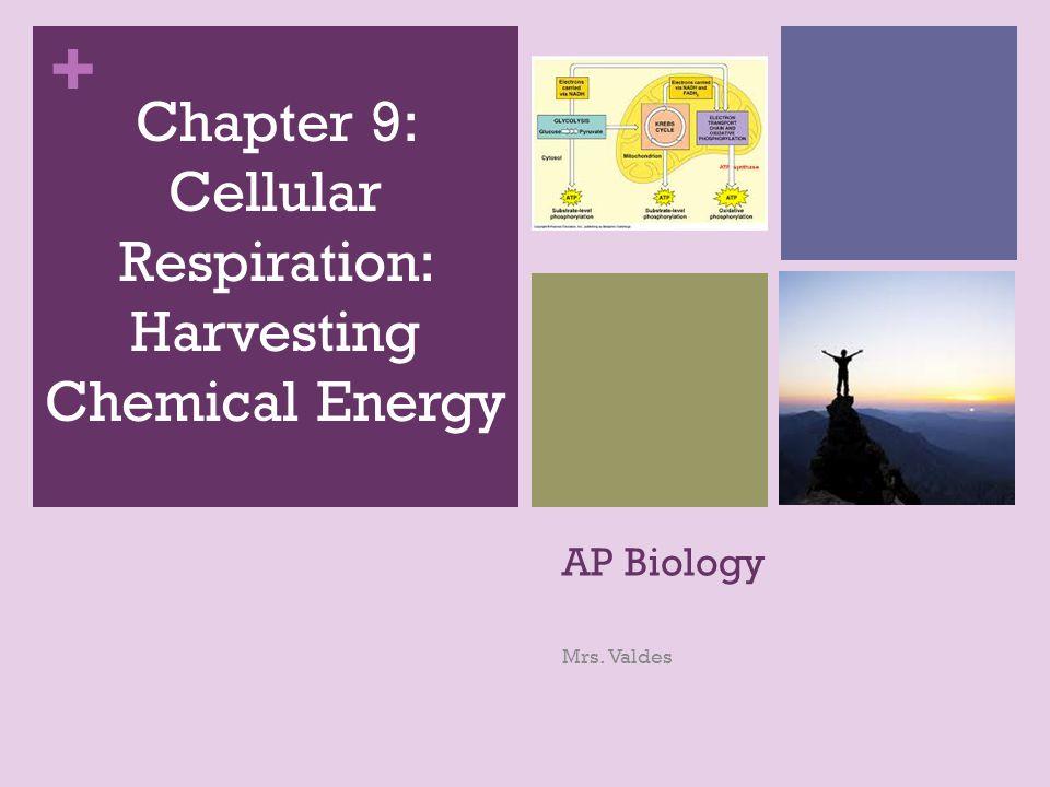 + AP Biology Mrs. Valdes Chapter 9: Cellular Respiration: Harvesting Chemical Energy