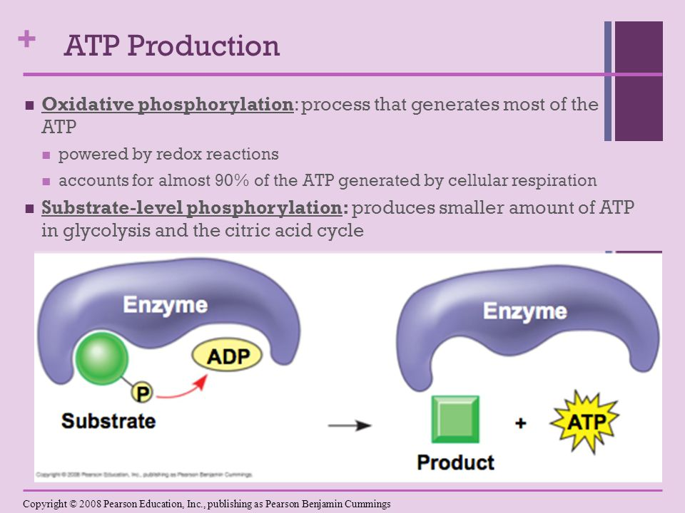 + Oxidative phosphorylation: process that generates most of the ATP powered by redox reactions accounts for almost 90% of the ATP generated by cellular respiration Substrate-level phosphorylation: produces smaller amount of ATP in glycolysis and the citric acid cycle Copyright © 2008 Pearson Education, Inc., publishing as Pearson Benjamin Cummings ATP Production