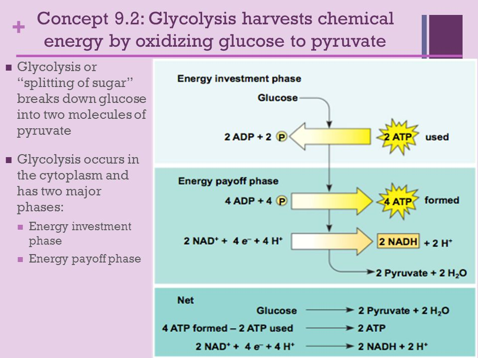 + Concept 9.2: Glycolysis harvests chemical energy by oxidizing glucose to pyruvate Glycolysis or splitting of sugar breaks down glucose into two molecules of pyruvate Glycolysis occurs in the cytoplasm and has two major phases: Energy investment phase Energy payoff phase