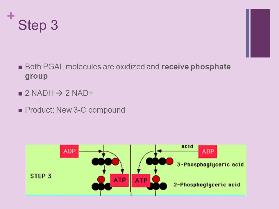 + Step 3 Both PGAL molecules are oxidized and receive phosphate group 2 NADH  2 NAD+ Product: New 3-C compound