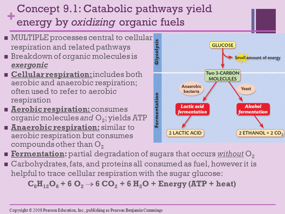 + Concept 9.1: Catabolic pathways yield energy by oxidizing organic fuels MULTIPLE processes central to cellular respiration and related pathways Breakdown of organic molecules is exergonic Cellular respiration: includes both aerobic and anaerobic respiration; often used to refer to aerobic respiration Aerobic respiration: consumes organic molecules and O 2 ; yields ATP Anaerobic respiration: similar to aerobic respiration but consumes compounds other than O 2 Fermentation: partial degradation of sugars that occurs without O 2 Carbohydrates, fats, and proteins all consumed as fuel, however it is helpful to trace cellular respiration with the sugar glucose: C 6 H 12 O 6 + 6 O 2  6 CO 2 + 6 H 2 O + Energy (ATP + heat) Copyright © 2008 Pearson Education, Inc., publishing as Pearson Benjamin Cummings