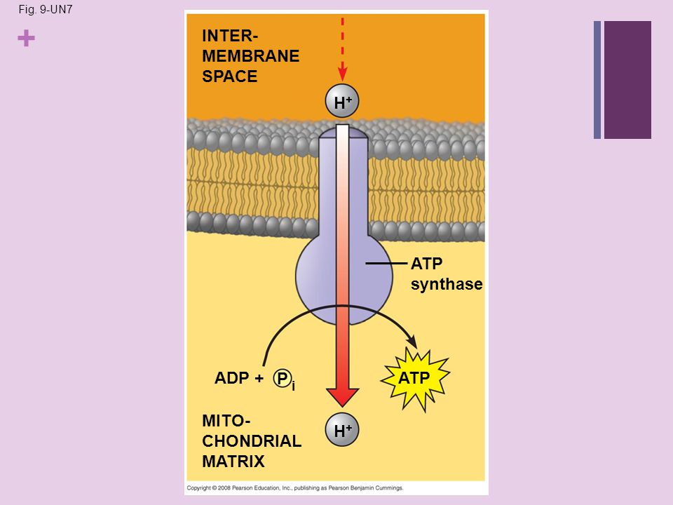 + Fig. 9-UN7 INTER- MEMBRANE SPACE H+H+ ATP synthase ATPADP + P i H+H+ MITO- CHONDRIAL MATRIX