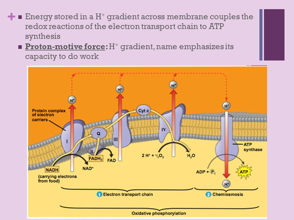 + Energy stored in a H + gradient across membrane couples the redox reactions of the electron transport chain to ATP synthesis Proton-motive force: H + gradient, name emphasizes its capacity to do work