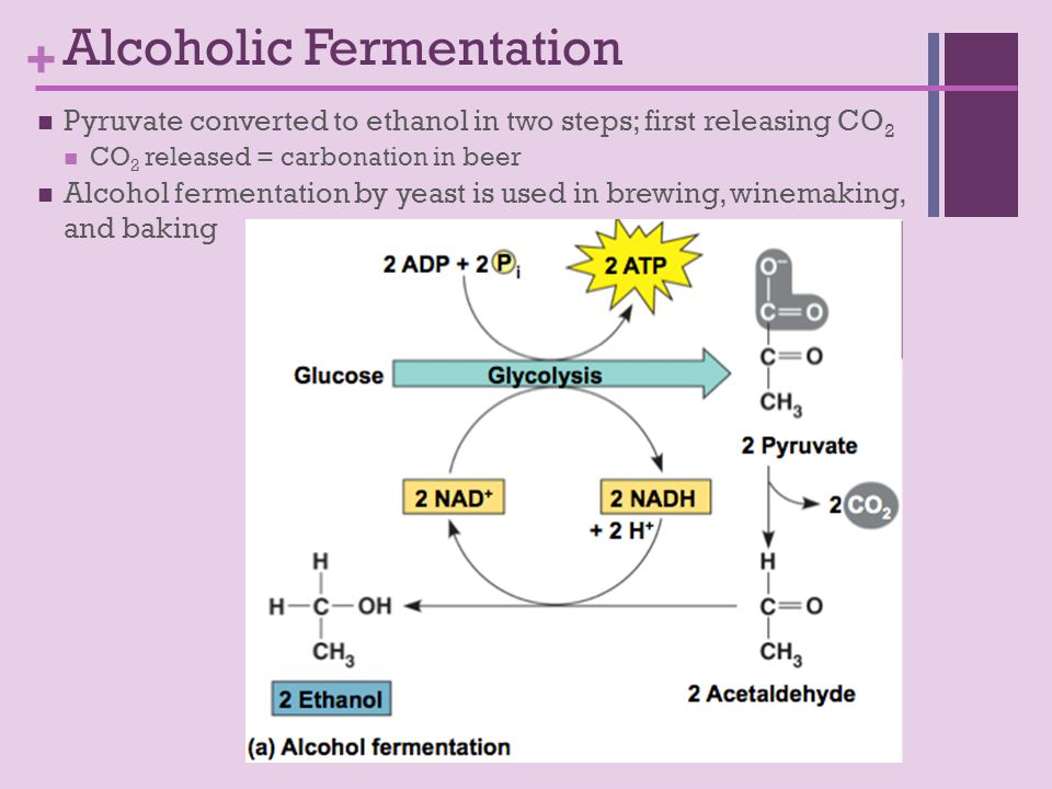 + Pyruvate converted to ethanol in two steps; first releasing CO 2 CO 2 released = carbonation in beer Alcohol fermentation by yeast is used in brewing, winemaking, and baking Alcoholic Fermentation