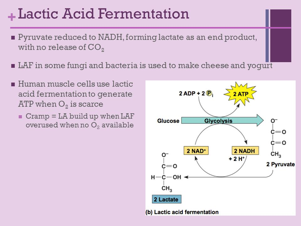 + Pyruvate reduced to NADH, forming lactate as an end product, with no release of CO 2 LAF in some fungi and bacteria is used to make cheese and yogurt Human muscle cells use lactic acid fermentation to generate ATP when O 2 is scarce Cramp = LA build up when LAF overused when no O 2 available Lactic Acid Fermentation