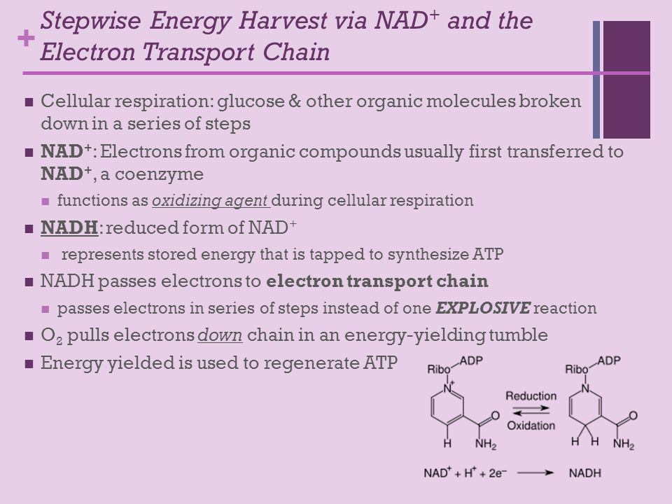 + Stepwise Energy Harvest via NAD + and the Electron Transport Chain Cellular respiration: glucose & other organic molecules broken down in a series of steps NAD + : Electrons from organic compounds usually first transferred to NAD +, a coenzyme functions as oxidizing agent during cellular respiration NADH: reduced form of NAD + represents stored energy that is tapped to synthesize ATP NADH passes electrons to electron transport chain passes electrons in series of steps instead of one EXPLOSIVE reaction O 2 pulls electrons down chain in an energy-yielding tumble Energy yielded is used to regenerate ATP