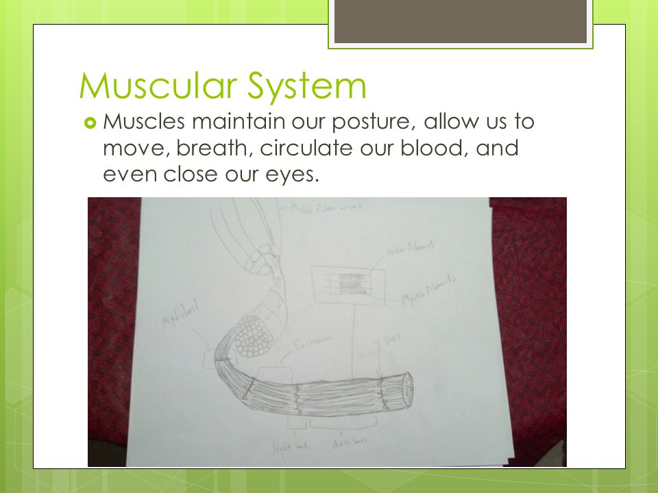Muscular System  Muscles maintain our posture, allow us to move, breath, circulate our blood, and even close our eyes.