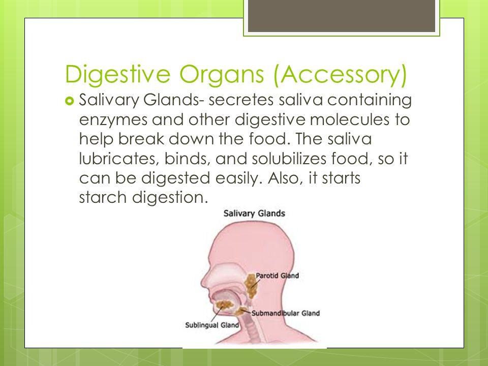 Digestive Organs (Accessory)  Salivary Glands- secretes saliva containing enzymes and other digestive molecules to help break down the food. The sali