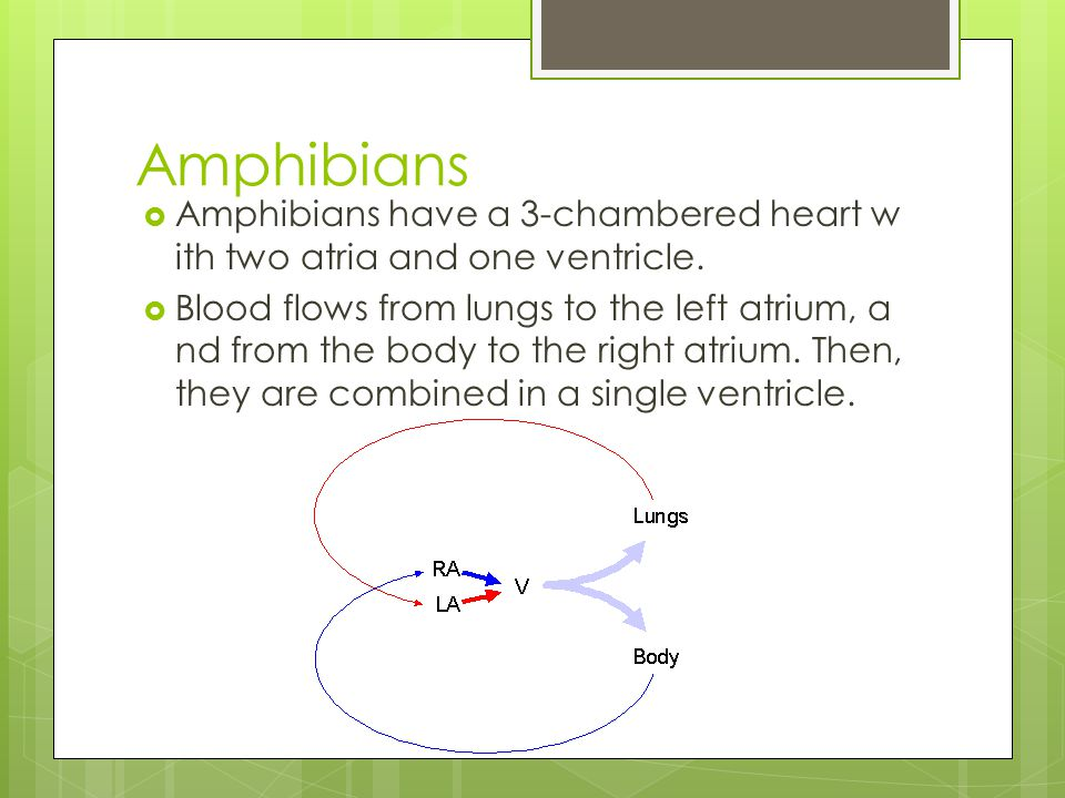 Amphibians  Amphibians have a 3-chambered heart w ith two atria and one ventricle.  Blood flows from lungs to the left atrium, a nd from the body to
