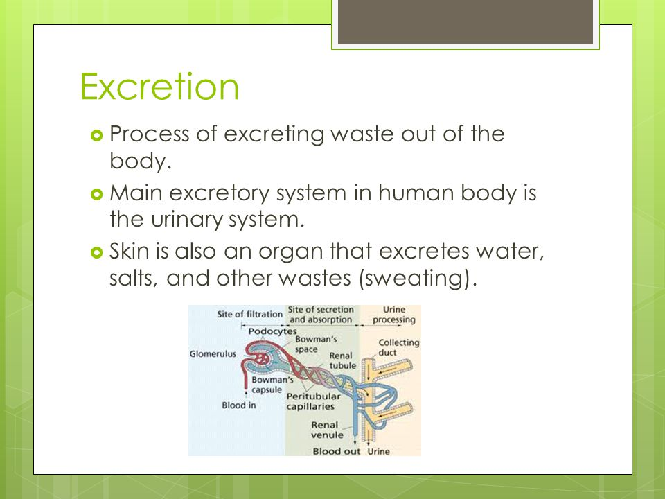 Excretion  Process of excreting waste out of the body.  Main excretory system in human body is the urinary system.  Skin is also an organ that excr