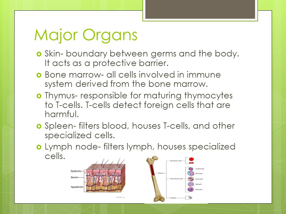 Major Organs  Skin- boundary between germs and the body. It acts as a protective barrier.  Bone marrow- all cells involved in immune system derived