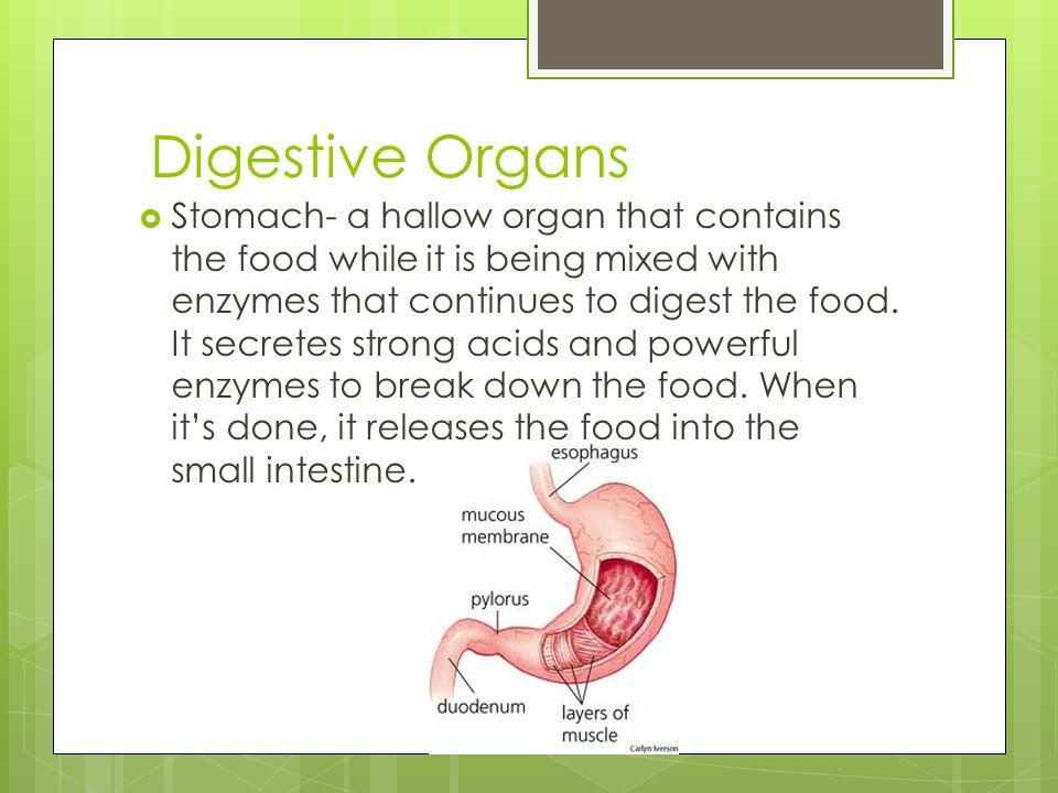 Digestive Organs  Stomach- a hallow organ that contains the food while it is being mixed with enzymes that continues to digest the food. It secretes
