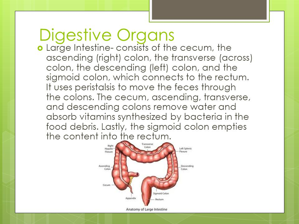 Digestive Organs  Large Intestine- consists of the cecum, the ascending (right) colon, the transverse (across) colon, the descending (left) colon, an
