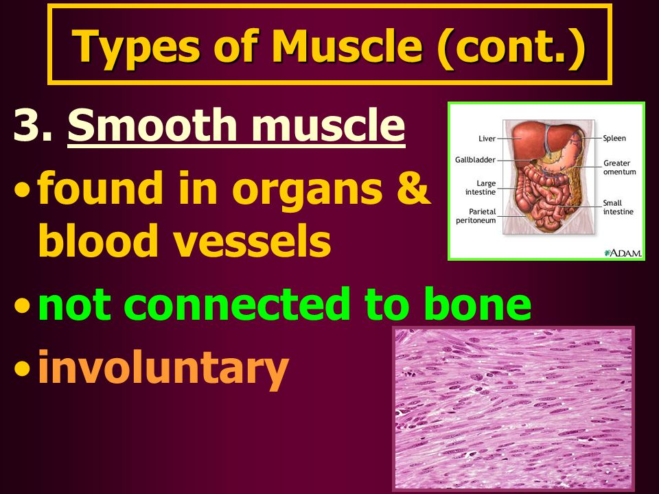 Types of Muscle (cont.) 3. Smooth muscle found in organs & blood vessels not connected to bone involuntary