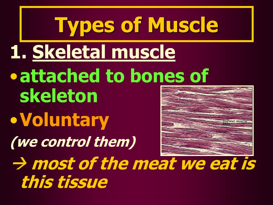 Types of Muscle 1. Skeletal muscle attached to bones of skeleton Voluntary (we control them)  most of the meat we eat is this tissue