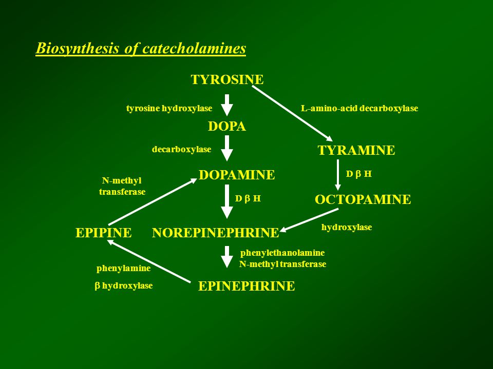 TYROSINE DOPA DOPAMINE NOREPINEPHRINE EPINEPHRINE TYRAMINE OCTOPAMINE EPIPINE tyrosine hydroxylaseL-amino-acid decarboxylase decarboxylase N-methyl transferase D  H hydroxylase D  H phenylethanolamine N-methyl transferase phenylamine  hydroxylase Biosynthesis of catecholamines