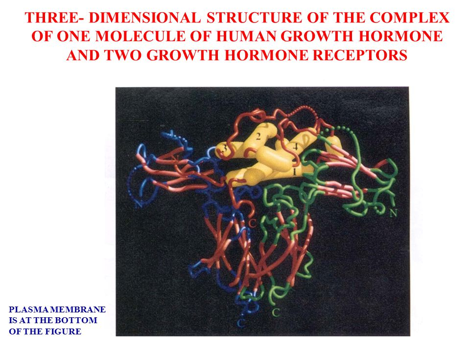 THREE- DIMENSIONAL STRUCTURE OF THE COMPLEX OF ONE MOLECULE OF HUMAN GROWTH HORMONE AND TWO GROWTH HORMONE RECEPTORS PLASMA MEMBRANE IS AT THE BOTTOM