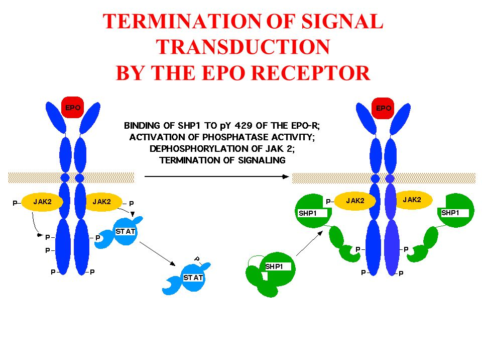 TERMINATION OF SIGNAL TRANSDUCTION BY THE EPO RECEPTOR