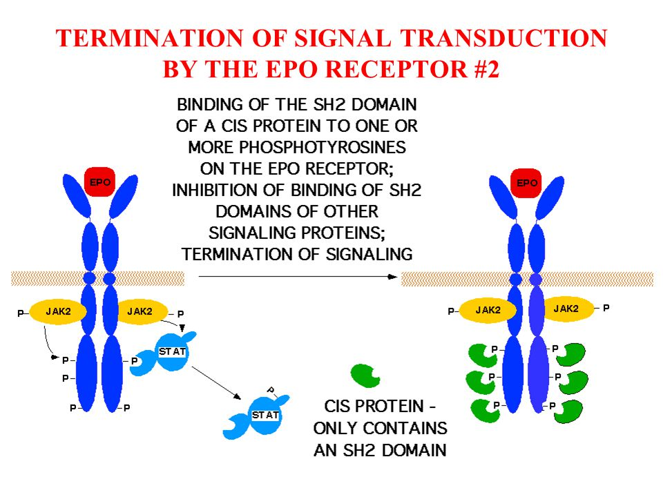 TERMINATION OF SIGNAL TRANSDUCTION BY THE EPO RECEPTOR #2