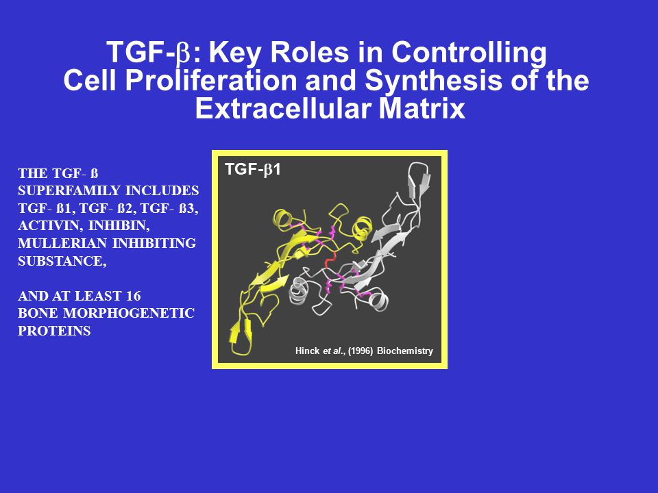 TGF-  : Key Roles in Controlling Cell Proliferation and Synthesis of the Extracellular Matrix TGF-  1 Hinck et al., (1996) Biochemistry THE TGF- ß S