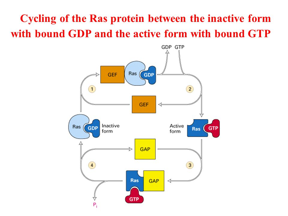 Cycling of the Ras protein between the inactive form with bound GDP and the active form with bound GTP