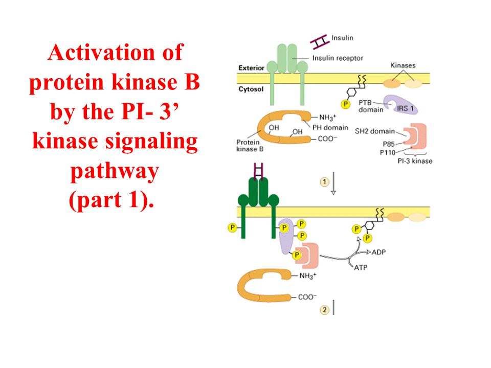 Activation of protein kinase B by the PI- 3' kinase signaling pathway (part 1).