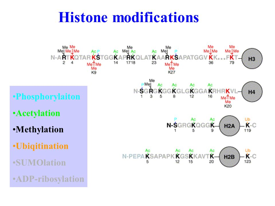 Histone modifications Phosphorylaiton Acetylation Methylation Ubiqitination SUMOlation ADP-ribosylation