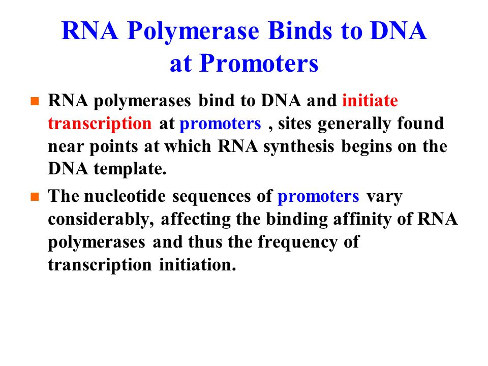 RNA Polymerase Binds to DNA at Promoters RNA polymerases bind to DNA and initiate transcription at promoters, sites generally found near points at which RNA synthesis begins on the DNA template.