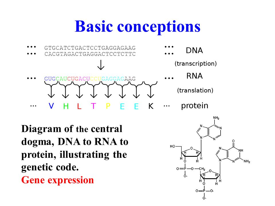 Diagram of the central dogma, DNA to RNA to protein, illustrating the genetic code.