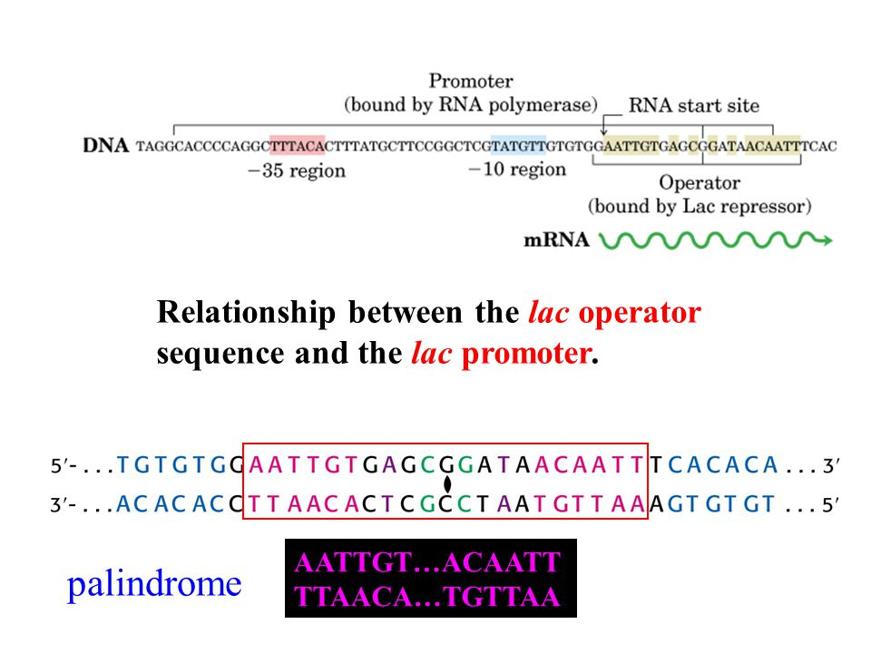 Relationship between the lac operator sequence and the lac promoter.