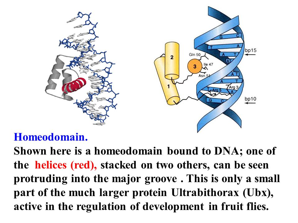 Homeodomain.