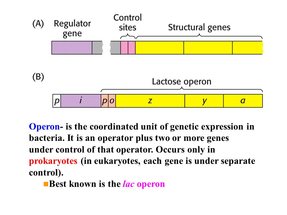 Operon- is the coordinated unit of genetic expression in bacteria. It is an operator plus two or more genes under control of that operator. Occurs onl