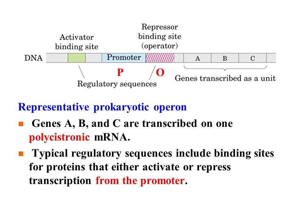 OP Representative prokaryotic operon Genes A, B, and C are transcribed on one polycistronic mRNA.
