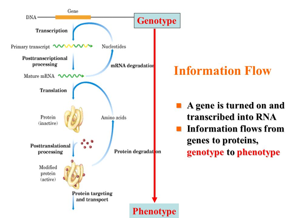 Information Flow A gene is turned on and transcribed into RNA A gene is turned on and transcribed into RNA Information flows from genes to proteins, genotype to phenotype Information flows from genes to proteins, genotype to phenotype Genotype Phenotype