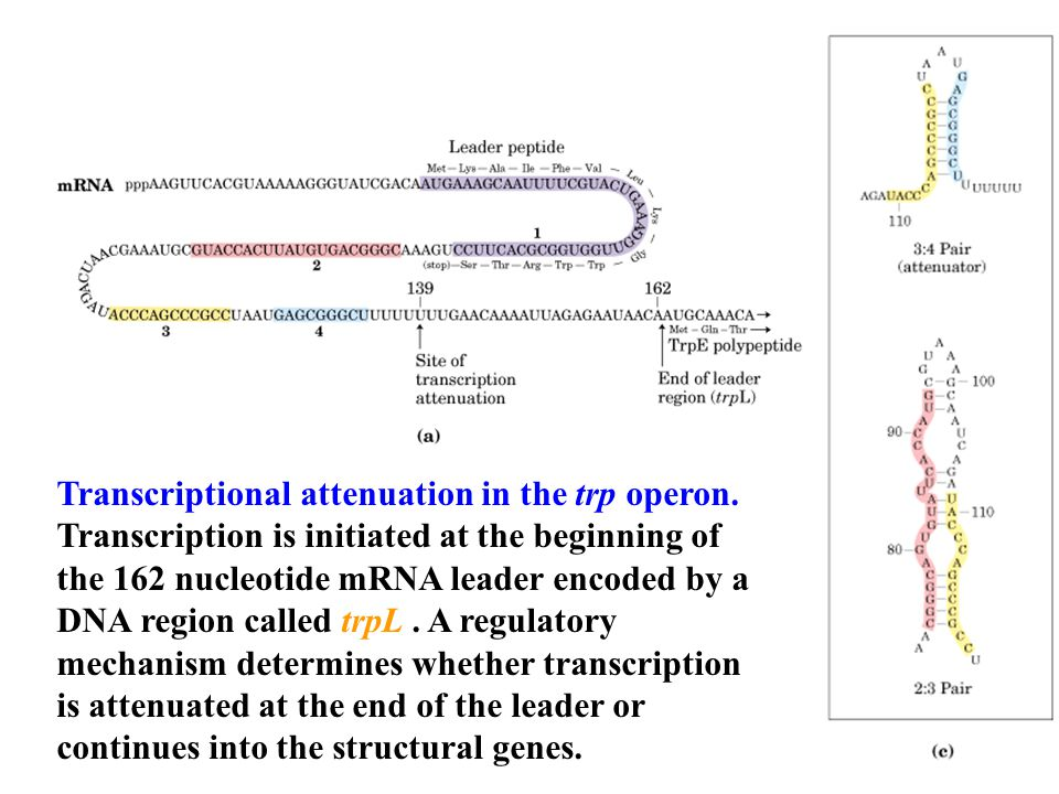 Transcriptional attenuation in the trp operon.