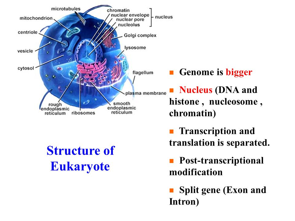 Structure of Eukaryote Genome is bigger Nucleus (DNA and histone, nucleosome, chromatin) Transcription and translation is separated.