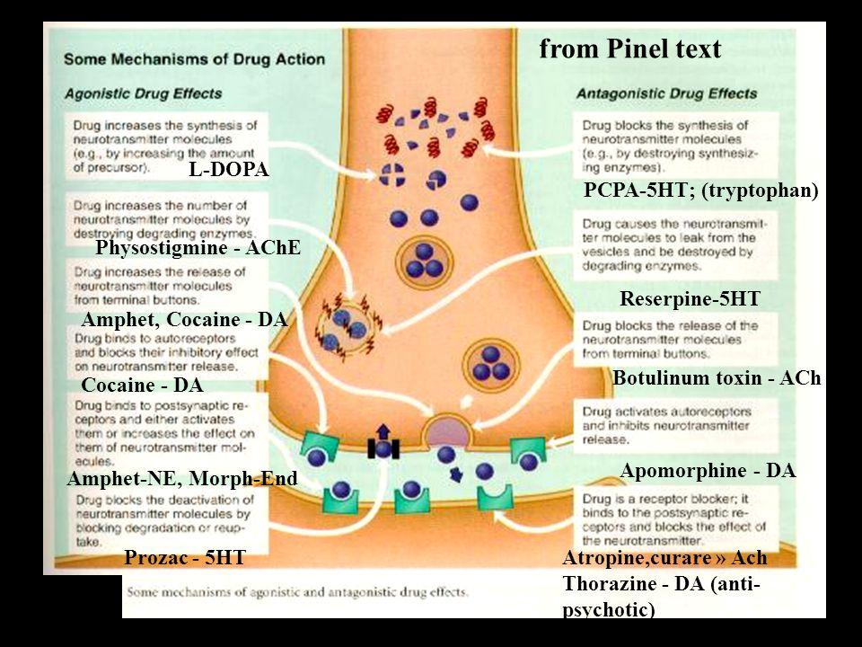 L-DOPA Physostigmine - AChE Amphet, Cocaine - DA Cocaine - DA Amphet-NE, Morph-End Prozac - 5HT PCPA-5HT; (tryptophan) Reserpine-5HT Botulinum toxin - ACh Atropine,curare » Ach Thorazine - DA (anti- psychotic) Apomorphine - DA from Pinel text