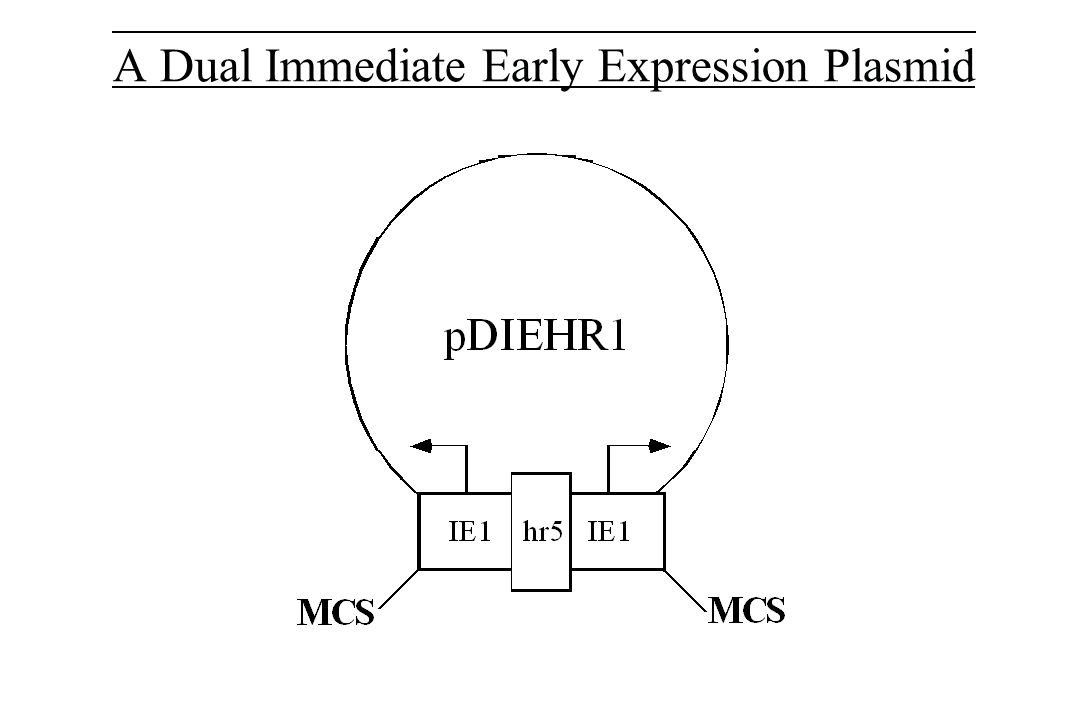 Immediate Early Expression Plasmids