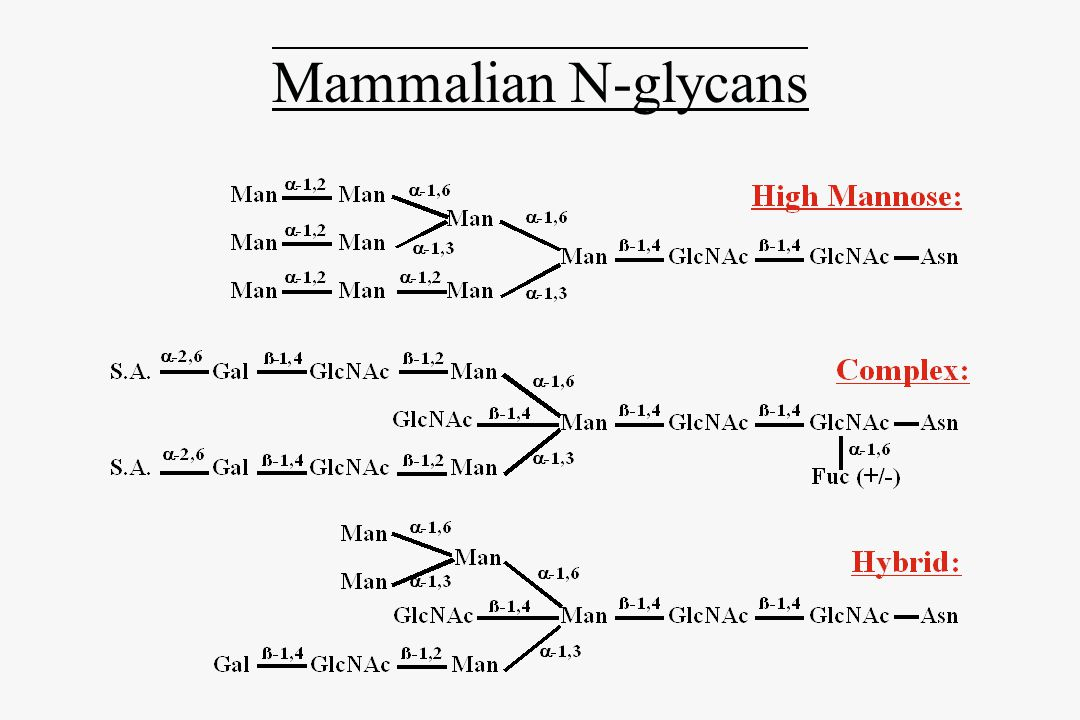 Mammalian N-glycosylation Pathway